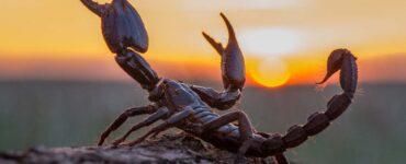 A scorpion on a desert rock